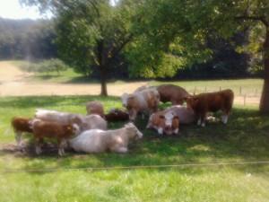 Kühe machen Urlaub auf dem Bauernhof (512x384)