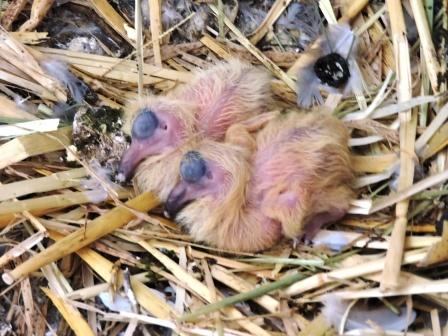 Tauben Baby