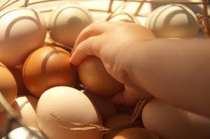 Eier-Hühner-mieten